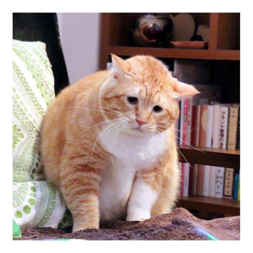 一只大脸猫